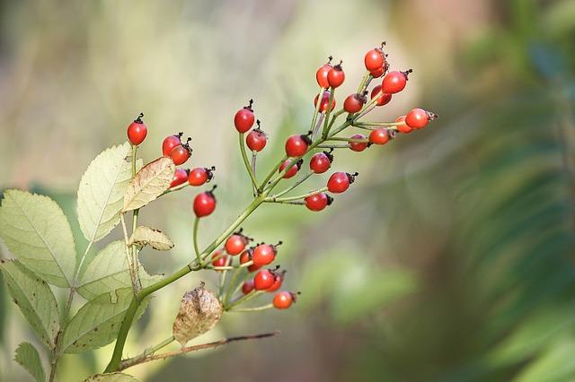 Olejek z dzikiej róży